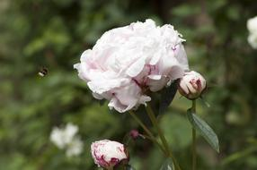 Peony pink and Bee