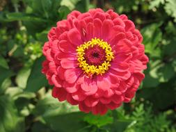 Zinnia Red yellow Flower