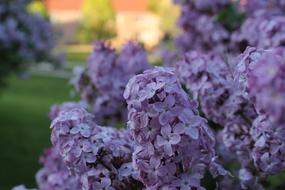 Lilacs Spring Purple flowers