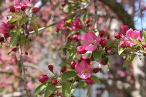 Crabapple, Pink blossoms on Tree
