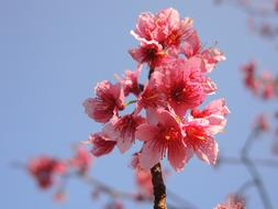 Cherry Blossoms bluw sky