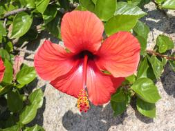 Hibiscus Flower Red stone wall