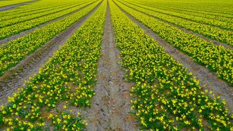 Daffodil Field and Narcissus