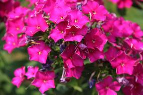 wondrous Phlox Flower Purple