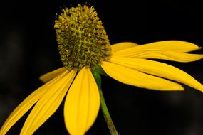 Yellow Coneflower Close