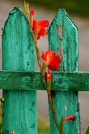 red Gladiolus Flower at green wooden fence