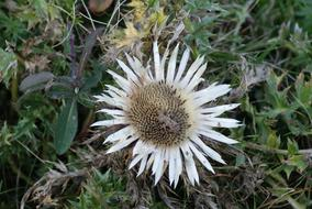wondrous Silver Thistle Flower