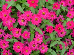 Zinnia, Pink Flowers, background