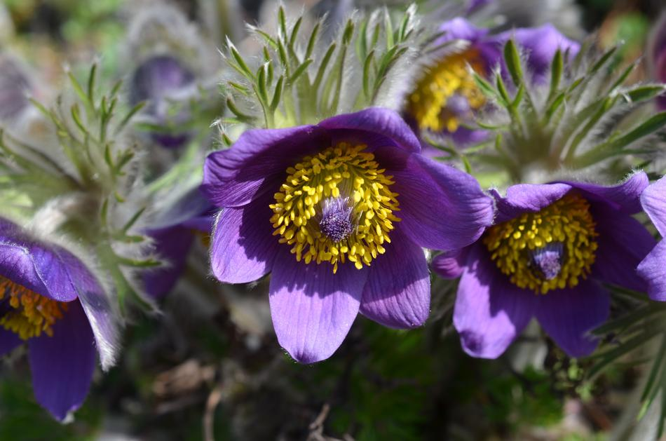 incredible beauty Pasque Flower