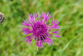 Thistle Flower green leaves