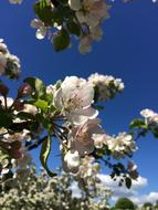 Apple Tree Flowers blue sky