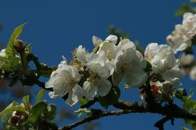 Apple Blossom blue sky