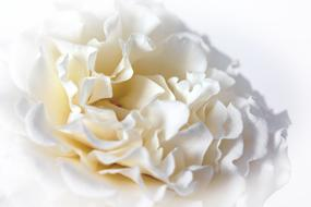 wondrous Rose Macro White