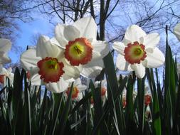 Daffodils Sky White green yellow