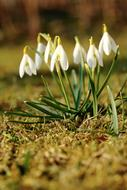 Snowdrop, group of Spring Flower