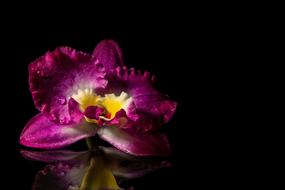 Bloom Orchids black background