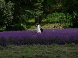 Wedding couple Photographing blooming Lavender