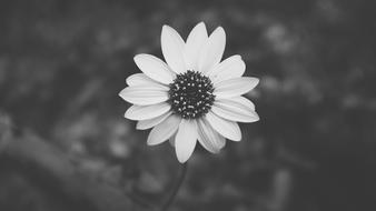 Daisy Black And White