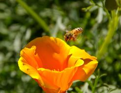 Bee and Orange flower