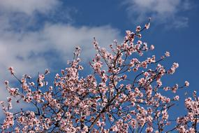 Almond Flower pink and blue sky