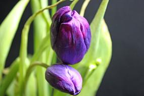 purple Tulip Spring Flower