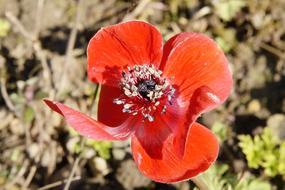 cute Anemone Red Blossom