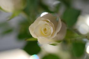 Rose Flower White Shrub green leaf