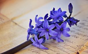 Hyacinth Flower blue and text