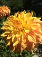 Yellow fluffy dahlia flowers at sunlight