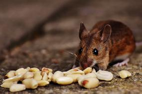 brown Mouse eating seeds