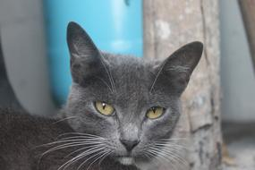 grey big-eared cat
