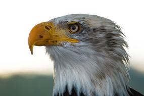 photo profile of bald eagle