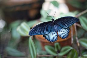 delightful Butterfly Blue Black