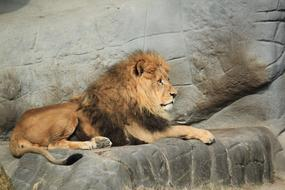 Lion rests on rock in Zoo