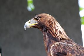 prodigious Golden Eagle