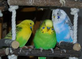 colorful budgerigars on a pole