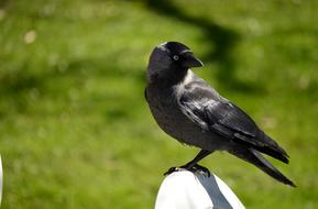 perched black jackdaw