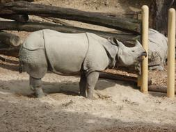 rhino scratches its nose on a log in a zoo
