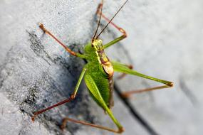 young green Grasshopper on grey surface