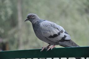 grey Pigeon perched fence