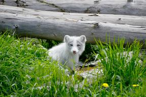 Arctic small Fox