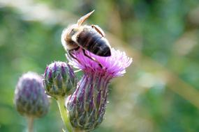 a bee collecting pollen on a purple thistle
