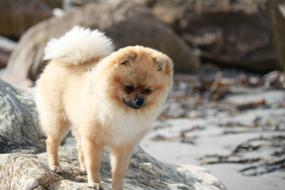 Pomeranian on a boulder on the beach