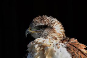 incredible Ferruginous Hawk