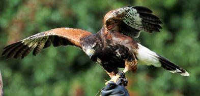 incredibly cute Harris Hawk