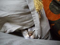 domestic kitten is hiding under the pillow
