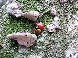 two ladybugs mate on a stone