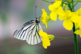 black and white butterfly on a yellow alpine flower