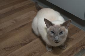 white siamese cat is sitting on the floor