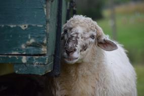 a sheep stands by a wooden cart